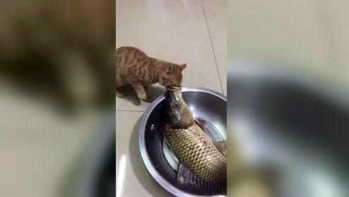 小猫真贪心,脸都没鱼嘴大