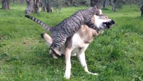 一看就是二哈气质的狼带大的猫
