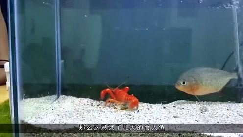 被饿了几天的食人鱼,遇上小龙虾会怎么样?结果让人意想不到!