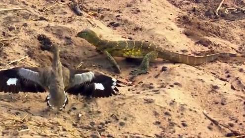 自然传奇:食鸻夫妻共同抵御尼罗巨蜥的偷袭