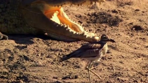 自然传奇:鳄鱼育儿记,鳄鱼母亲时刻警惕着尼罗巨蜥偷卵