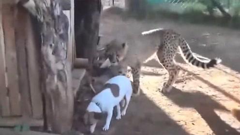 饲养员将狗狗和豹子关在一起,没想到豹子被狗子收拾的服服贴贴!