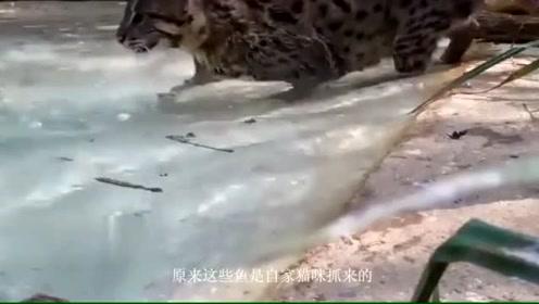 小伙救了一只猫悉心照顾,没多久猫常往家中抓鱼,跟踪一看懵圈了