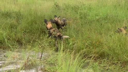 野狗们在草丛中玩耍,豹子悄悄潜伏在草丛中,它会行动吗?