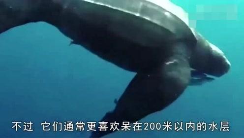 全球体型最大的乌龟 体长可以达到26米重1吨!