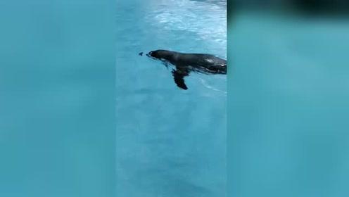 好可爱的企鹅会抬头游泳