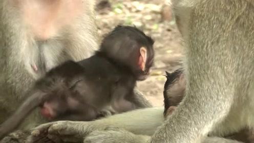 小猴子躺在妈妈的怀里撒欢,天真无忧,让人忍不住羡慕