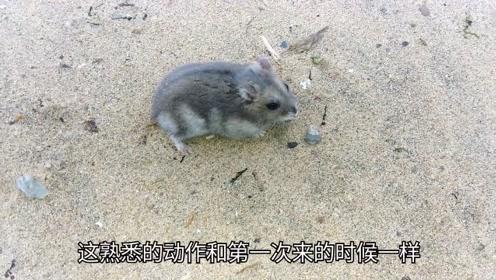 仓鼠在海滩上玩的不亦乐乎