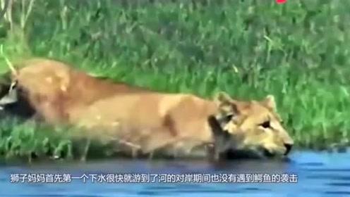狮子妈妈带幼崽过河,结果遇到鳄鱼,整个场面惊心动魄!
