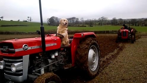 见识下别人家的狗,英国这条狗子还能开拖拉机,成旅游明星