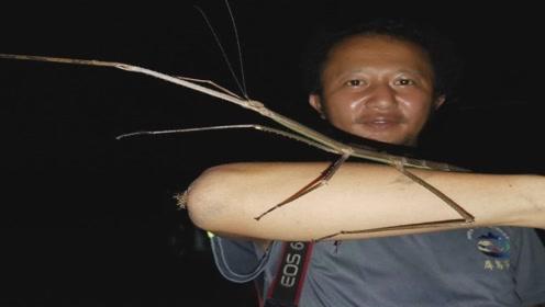 长如手臂!超大巨竹节虫现身云南那邦镇,专家:或是中国第二长