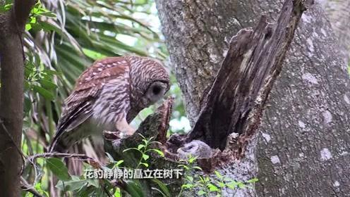 花豹上树是把好手,这次直接把猫头鹰老巢给端了,镜头记下全过程