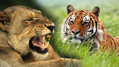 为什么看不到老虎吃狼,狮子吃鬣狗的现象?狮子:我挑食!