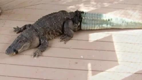 鳄鱼没了尾巴找人类求救,专家给它装上假尾巴,装上后开心到飞起