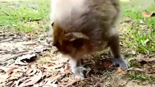 小猴子恰似打不死的小强_被妈妈抓着头发往死里抽,这一招太狠了