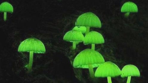 日本再现绿光蘑菇,美丽外表下竟毒性十足