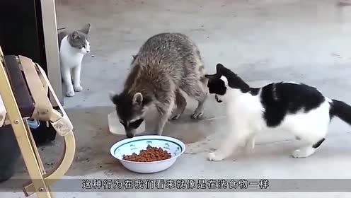 养只小浣熊是啥样的体验?一不注意手机被洗了,女主人要被逼疯!