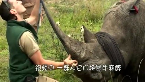 一行人为了保护犀牛的生命,却出此下策,锯掉犀牛角!