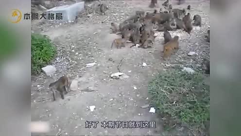 见过猴子打群架么?双方拉开阵势,和两军交战一样