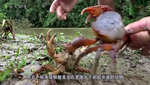 螃蟹为什么会选择横行霸道?原来有的螃蟹也会直着走,有钳任性!