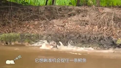 原来水霸王鳄鱼也有忌惮的动物,鳄鱼潜在水里也难逃其追杀