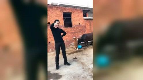 小伙在牛棚跳最火的海草舞,结果牛都看不下去了,看完笑了我了!