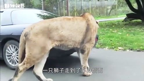 男子开车去玩,不料被狮子一口咬住车子,路人拍下全过程