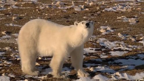 全球唯一北极熊监狱,每年11月熊比人多,当地居民成立了熊警!