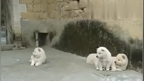 几只小奶狗在门口坐,一听到摩托车,全部都进狗洞了!