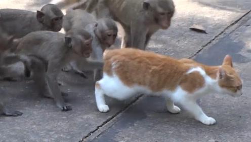猫咪被一群猴子看上了,竟然强行撸猫!网友:猴子果然像人!