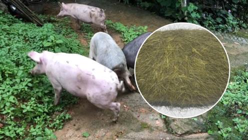男子养的猪不吃不喝,杀掉后却直呼赚大了