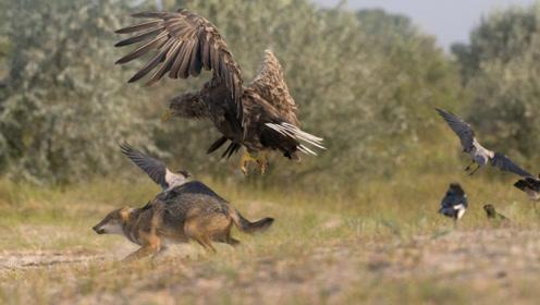 这是野狼的克星,战斗力十分强悍