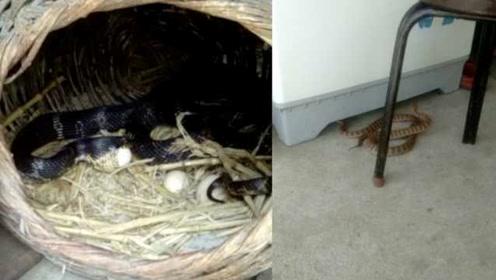 3条大蛇溜进家生吞鸡蛋,男子淡定拍视频:看着它们长大的
