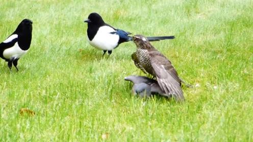 苍鹰捕食小鸟刚准备进食,却遭两只喜鹊骚扰,镜头拍下搞笑一幕!