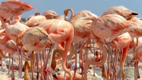 涨知识!火烈鸟的身体为什么是粉红色?说出原因不要笑!