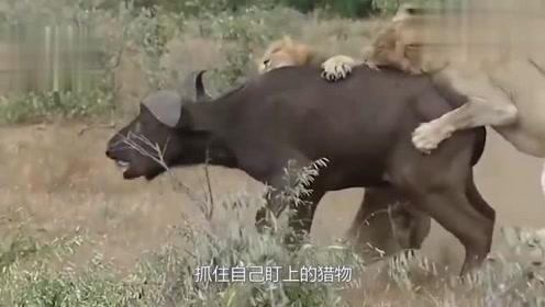狮子抓住斑马, 招惹一群鬣狗前来, 看来有一场恶战!