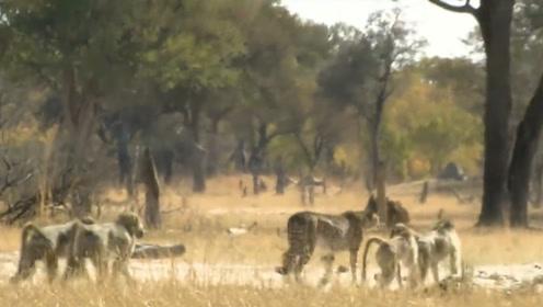 猎豹在狒狒的领地徘徊,分分钟被围攻暴揍,网友:幸好跑得快
