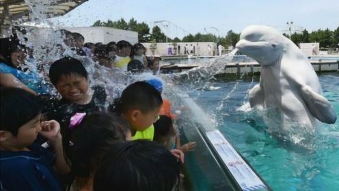 白鲸吓唬人从没失手,结果马有失蹄,如今却败在一个小女孩手里!