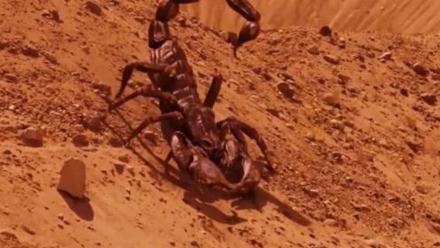 从海洋进军陆地的巨型蝎子,体长3米比牛还大
