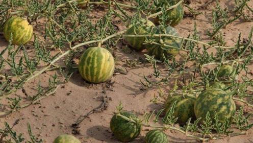 为何沙漠里的西瓜无人吃?导游:真不是闹着玩的,吃了后悔莫及!