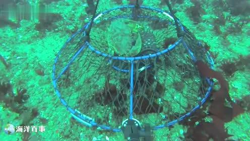 笼子下水,大螃蟹禁不住咸鱼的诱惑,入坑了!