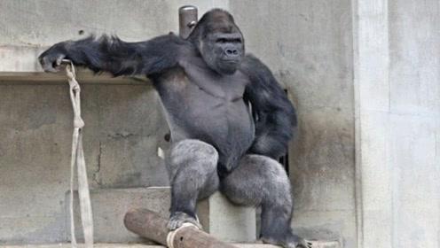 """日本动物园""""型男""""大猩猩走红 引发中国网友热捧"""