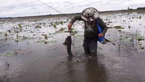 满是荷叶的塘,钓到那么大的鱼竟然没缠线,厉害啊