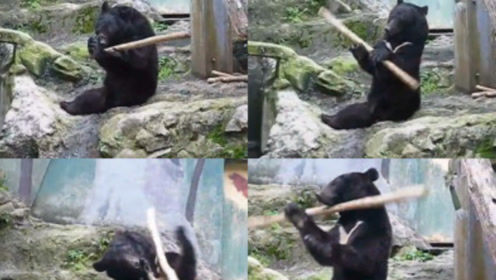 """""""功夫黑熊""""耍木棍,砸到头的傻样萌翻,网友:这货已成精!"""