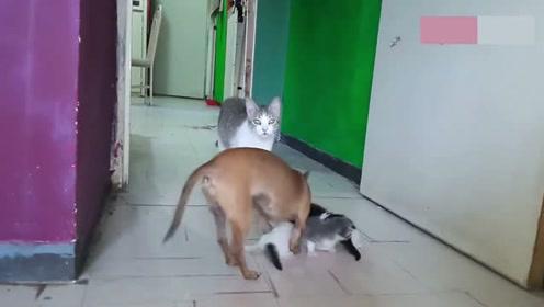 吉娃娃想当妈,偷走猫咪的孩子自己养,猫妈都看懵了
