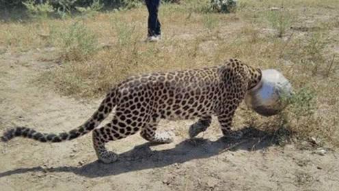 花豹头卡在罐子拔不出来,向围观村民求助,下一秒你别笑