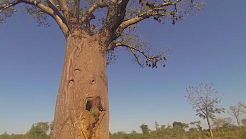 非洲神奇树木可活5千年,没事就存水、肚子里能住人!