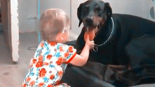 宝宝猛拽猛犬的舌头,不料接下来的一幕,爸妈都看傻眼了