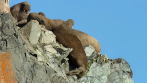 """摄影师在北极拍到一幕,海象为生存排队""""跳崖"""",人类需要反思!"""