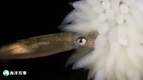 鱿鱼如何繁衍后代?把卵聚集一起,不久小鱿鱼就出生了!